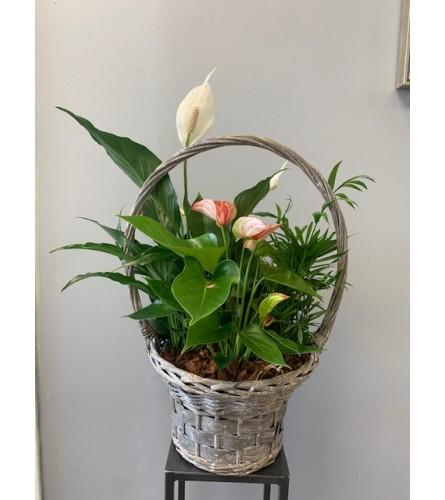 XL Anthurium Wicker Basket Planter