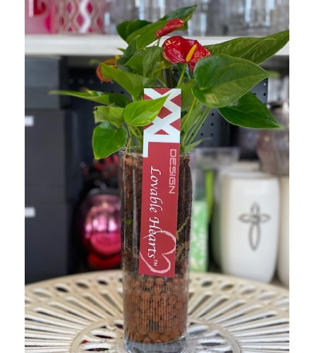 beauty with the pink or red Anthurium Plant