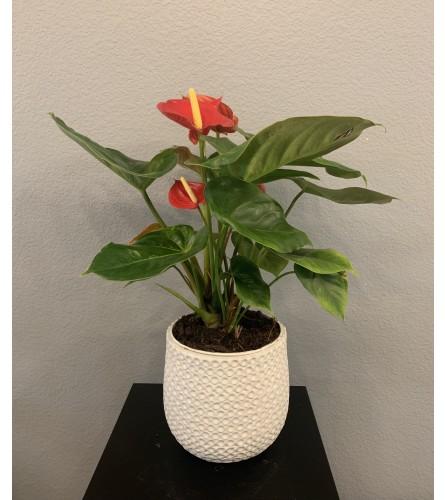 """Red Anthurium Plant 6"""""""