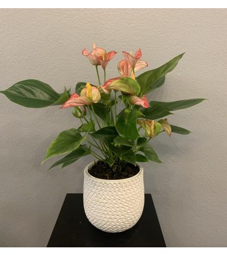 "Pink Anthurium Plant 6"""