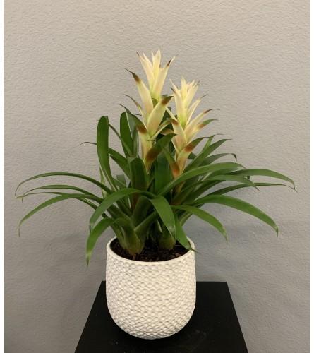 White Double Bromeliad