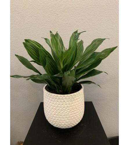 "Janet Craig 6"" Plant"