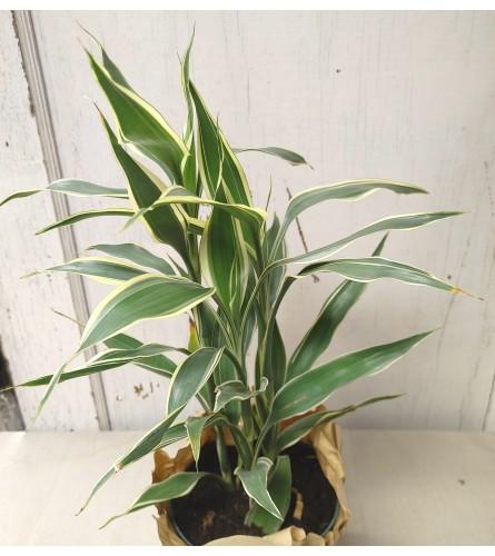 "6"" Dracaena Warneckii Plant"