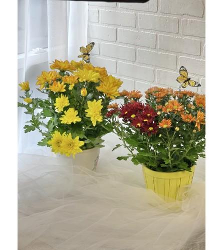"6"" Potted Chrysanthemum Plant"