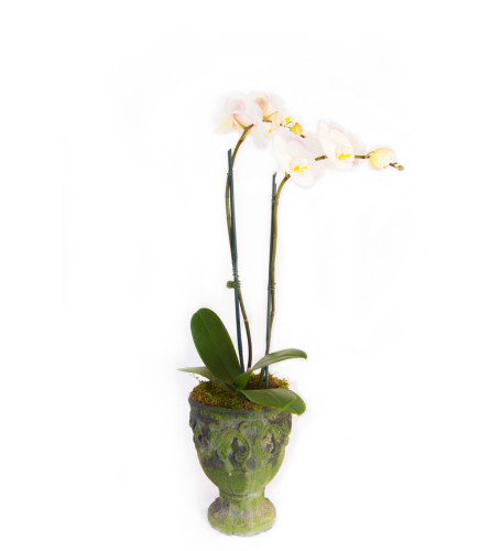 Double Blooming Orchid