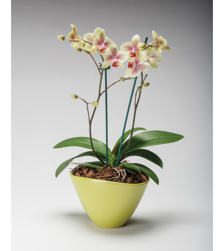 Two Spike Cane Orchids