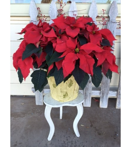 Giant Holiday Poinsettia