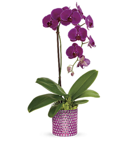 Teleflora's Dazzling Orchid