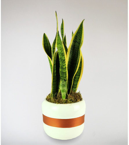Decorative Snake Plant