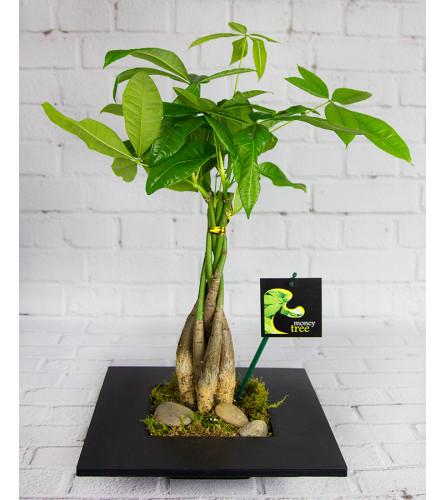 Elegant Money Tree