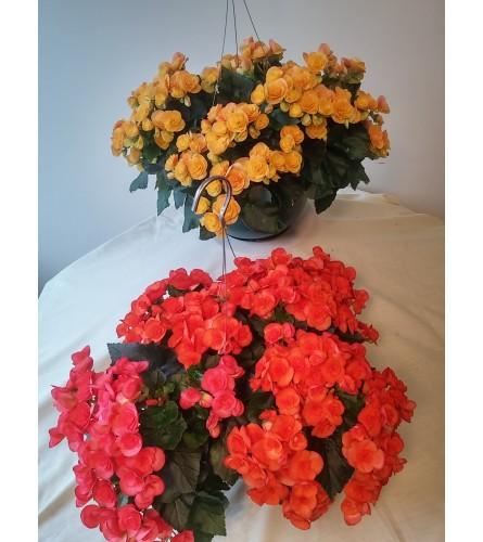 Reiger Begonia Hanging Basket