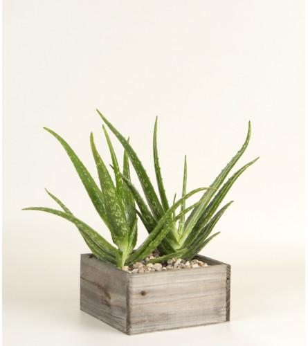 Decorative Aloe Plant