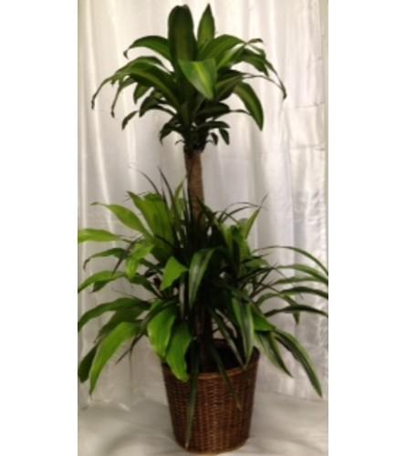 DRACAENA/CORN PLANT