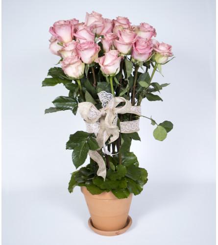 Rose Garden in Bloom