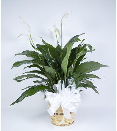 Moreno Valley Peace Lily