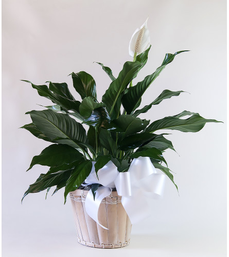 Upscale Peace Lily