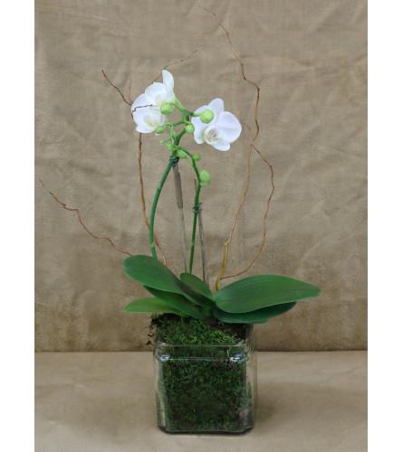 Orchid Wonder