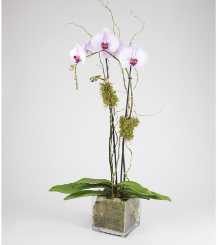 Double Phalaenopsis Orchid Plant