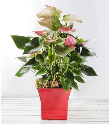 Decorative Anthurium Plant