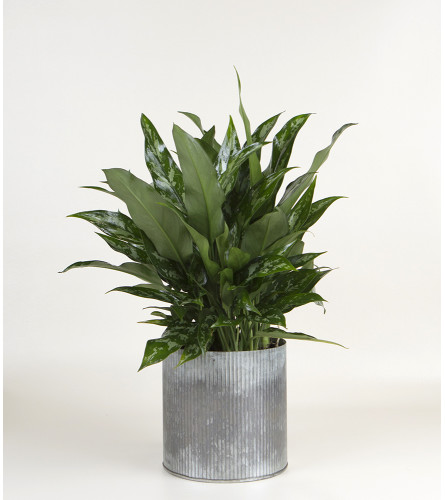 Decorative House Plant