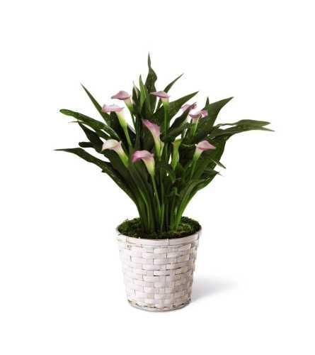 The FTD® Calla Lily Planter - White