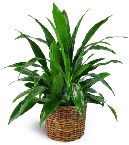 Dracaena Plant in a Basket
