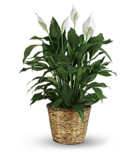PEACE LILY  BF236