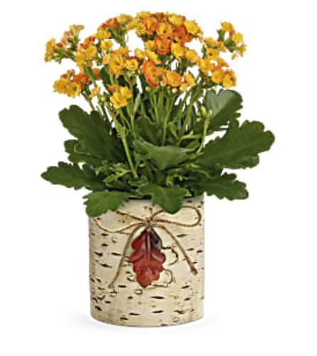 Teleflora's Living Autumn Kalanchoe Plant