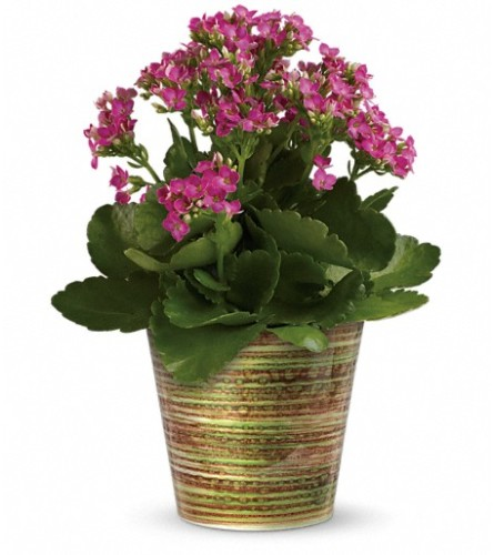 Simply Happy Kalanchoe Plant by Teleflora