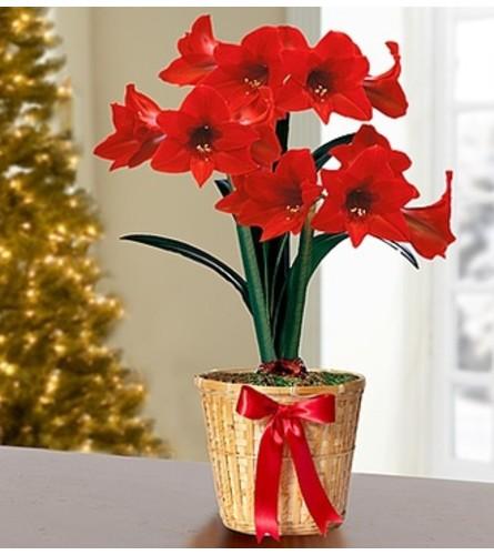 "6"" Amaryllis Plant in Basket"