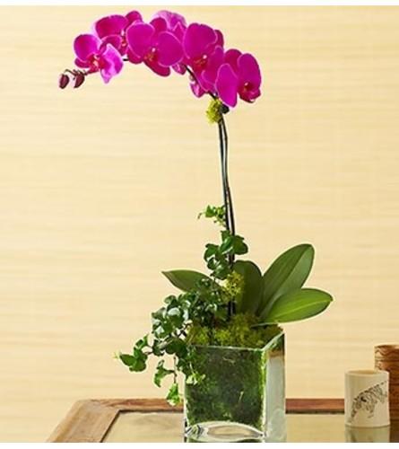 1 Stem Purple Phalaenopsis Orchid