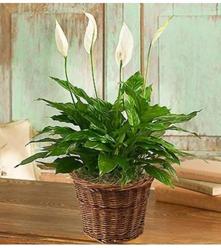 Spathiphyllum Floor Plant