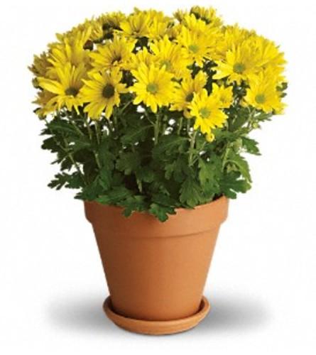 Sunny Yellow Daisy Plant