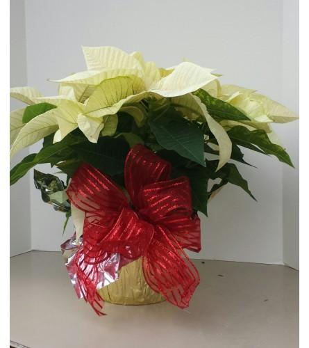 """6"""" Christmas White Poinsettia with bow"""