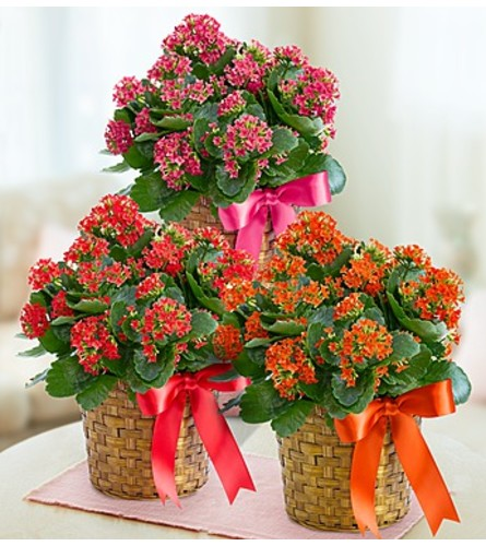 Kalanchoe Plant in a Basket