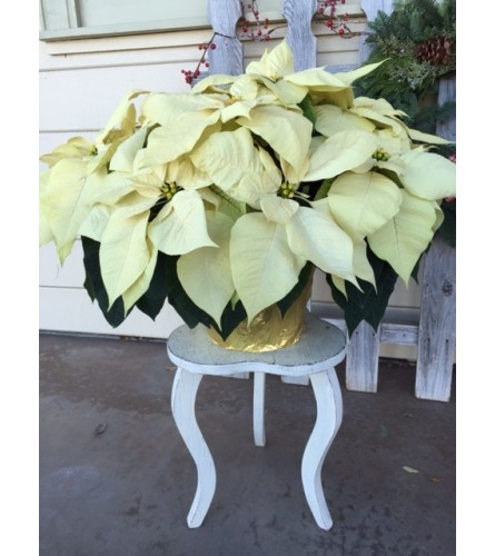 Grand Holiday Poinsettia