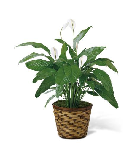 The FTD® Spathiphyllum