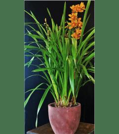 Striking Cymbidium Orchid