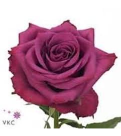 1 Dozen Blueberry Roses