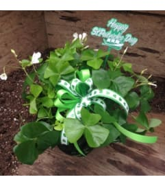 St. Patricks's Day Shamrock Plant