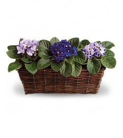 beautiful Violets