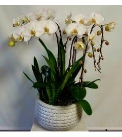 White Phal Garden #4