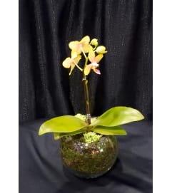 miniature Orchid plant