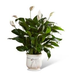 COMFORT PLANT