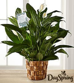 Dayspring Peace Lilly