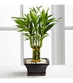 FTD - Lucky Bamboo