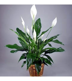 PEACE LILY - GREEN HOUSEPLANT
