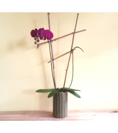 Double Spike Purple Phalaenopsis Orchid Plant