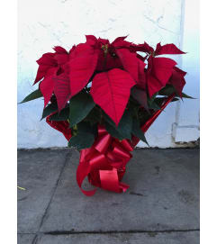 5 Plants in pot - Poinsettia