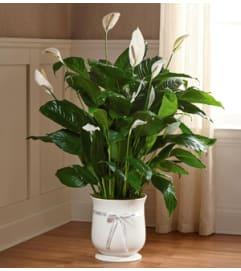 Comfort Planter 8